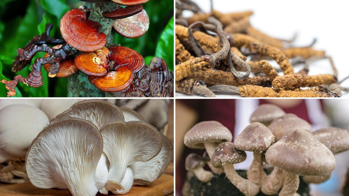 Medicinální houby: reishi – cordyceps – hlíva ústřičná - shiitake